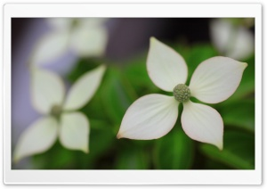 Dogwood HD Wide Wallpaper for Widescreen