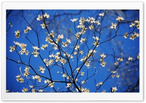 Dogwood Blossoms HD Wide Wallpaper for Widescreen