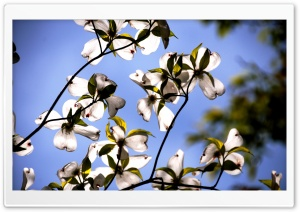 Dogwood Flowers HD Wide Wallpaper for Widescreen
