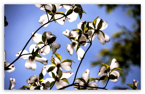 Dogwood Flowers ❤ 4K UHD Wallpaper for Wide 16:10 5:3 Widescreen WHXGA WQXGA WUXGA WXGA WGA ; 4K UHD 16:9 Ultra High Definition 2160p 1440p 1080p 900p 720p ; UHD 16:9 2160p 1440p 1080p 900p 720p ; Standard 4:3 5:4 3:2 Fullscreen UXGA XGA SVGA QSXGA SXGA DVGA HVGA HQVGA ( Apple PowerBook G4 iPhone 4 3G 3GS iPod Touch ) ; Smartphone 5:3 WGA ; Tablet 1:1 ; iPad 1/2/Mini ; Mobile 4:3 5:3 3:2 16:9 5:4 - UXGA XGA SVGA WGA DVGA HVGA HQVGA ( Apple PowerBook G4 iPhone 4 3G 3GS iPod Touch ) 2160p 1440p 1080p 900p 720p QSXGA SXGA ;