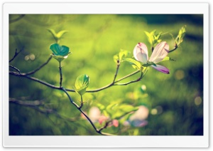 Dogwood Tree Blossom HD Wide Wallpaper for Widescreen