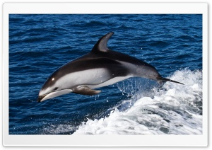 Dolphin Jumping HD Wide Wallpaper for Widescreen