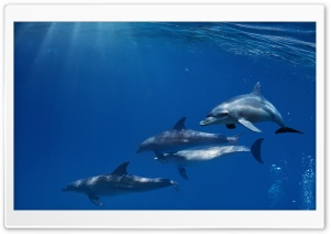 Dolphins Ultra HD Wallpaper for 4K UHD Widescreen desktop, tablet & smartphone