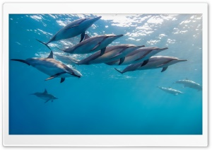Dolphins Underwater Ultra HD Wallpaper for 4K UHD Widescreen desktop, tablet & smartphone