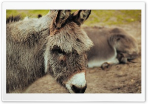 Donkey HD Wide Wallpaper for 4K UHD Widescreen desktop & smartphone