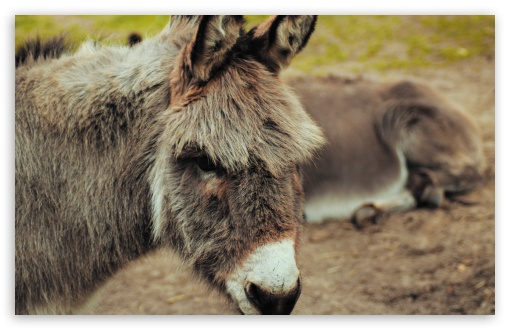 Donkey ❤ 4K UHD Wallpaper for Wide 16:10 5:3 Widescreen WHXGA WQXGA WUXGA WXGA WGA ; 4K UHD 16:9 Ultra High Definition 2160p 1440p 1080p 900p 720p ; UHD 16:9 2160p 1440p 1080p 900p 720p ; Standard 4:3 5:4 3:2 Fullscreen UXGA XGA SVGA QSXGA SXGA DVGA HVGA HQVGA ( Apple PowerBook G4 iPhone 4 3G 3GS iPod Touch ) ; Smartphone 16:9 3:2 5:3 2160p 1440p 1080p 900p 720p DVGA HVGA HQVGA ( Apple PowerBook G4 iPhone 4 3G 3GS iPod Touch ) WGA ; Tablet 1:1 ; iPad 1/2/Mini ; Mobile 4:3 5:3 3:2 16:9 5:4 - UXGA XGA SVGA WGA DVGA HVGA HQVGA ( Apple PowerBook G4 iPhone 4 3G 3GS iPod Touch ) 2160p 1440p 1080p 900p 720p QSXGA SXGA ;