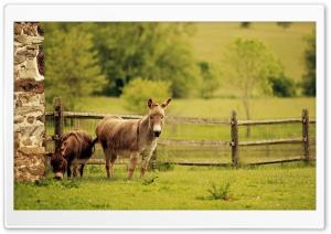 Donkeys HD Wide Wallpaper for Widescreen