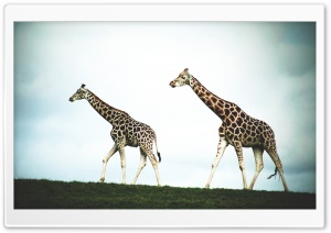 Double Giraffe Ultra HD Wallpaper for 4K UHD Widescreen desktop, tablet & smartphone