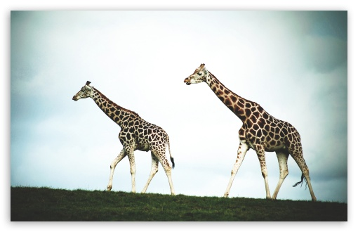 Double Giraffe HD wallpaper for Wide 16:10 5:3 Widescreen WHXGA WQXGA WUXGA WXGA WGA ; HD 16:9 High Definition WQHD QWXGA 1080p 900p 720p QHD nHD ; Standard 4:3 5:4 3:2 Fullscreen UXGA XGA SVGA QSXGA SXGA DVGA HVGA HQVGA devices ( Apple PowerBook G4 iPhone 4 3G 3GS iPod Touch ) ; Tablet 1:1 ; iPad 1/2/Mini ; Mobile 4:3 5:3 3:2 16:9 5:4 - UXGA XGA SVGA WGA DVGA HVGA HQVGA devices ( Apple PowerBook G4 iPhone 4 3G 3GS iPod Touch ) WQHD QWXGA 1080p 900p 720p QHD nHD QSXGA SXGA ;