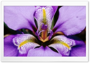 Douglas Iris HD Wide Wallpaper for Widescreen