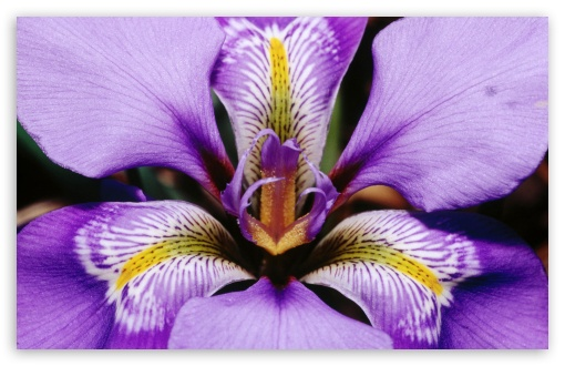 Douglas Iris ❤ 4K UHD Wallpaper for Wide 16:10 5:3 Widescreen WHXGA WQXGA WUXGA WXGA WGA ; Standard 4:3 5:4 3:2 Fullscreen UXGA XGA SVGA QSXGA SXGA DVGA HVGA HQVGA ( Apple PowerBook G4 iPhone 4 3G 3GS iPod Touch ) ; iPad 1/2/Mini ; Mobile 4:3 5:3 3:2 5:4 - UXGA XGA SVGA WGA DVGA HVGA HQVGA ( Apple PowerBook G4 iPhone 4 3G 3GS iPod Touch ) QSXGA SXGA ;