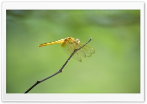 Dragon Fly HD Wide Wallpaper for Widescreen