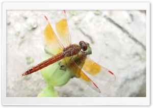 Dragon Fly ..M HD Wide Wallpaper for Widescreen