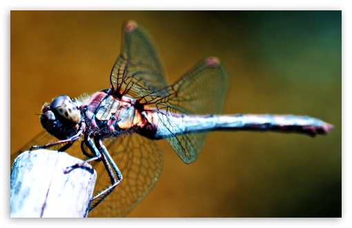 Dragonfly HD wallpaper for Wide 16:10 5:3 Widescreen WHXGA WQXGA WUXGA WXGA WGA ; HD 16:9 High Definition WQHD QWXGA 1080p 900p 720p QHD nHD ; Standard 3:2 Fullscreen DVGA HVGA HQVGA devices ( Apple PowerBook G4 iPhone 4 3G 3GS iPod Touch ) ; Mobile 5:3 3:2 16:9 - WGA DVGA HVGA HQVGA devices ( Apple PowerBook G4 iPhone 4 3G 3GS iPod Touch ) WQHD QWXGA 1080p 900p 720p QHD nHD ;