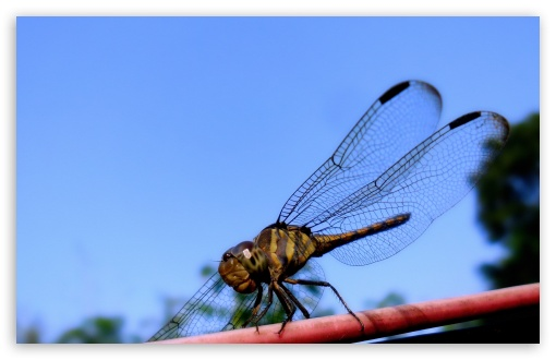 Dragonfly HD wallpaper for Wide 16:10 5:3 Widescreen WHXGA WQXGA WUXGA WXGA WGA ; HD 16:9 High Definition WQHD QWXGA 1080p 900p 720p QHD nHD ; Standard 4:3 5:4 3:2 Fullscreen UXGA XGA SVGA QSXGA SXGA DVGA HVGA HQVGA devices ( Apple PowerBook G4 iPhone 4 3G 3GS iPod Touch ) ; iPad 1/2/Mini ; Mobile 4:3 5:3 3:2 16:9 5:4 - UXGA XGA SVGA WGA DVGA HVGA HQVGA devices ( Apple PowerBook G4 iPhone 4 3G 3GS iPod Touch ) WQHD QWXGA 1080p 900p 720p QHD nHD QSXGA SXGA ;