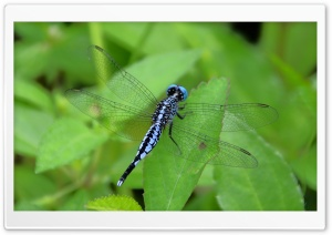 Dragonfly HD Wide Wallpaper for Widescreen