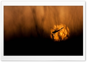 Dragonfly At Sunset HD Wide Wallpaper for 4K UHD Widescreen desktop & smartphone