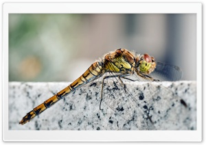 Dragonfly Macro Ultra HD Wallpaper for 4K UHD Widescreen desktop, tablet & smartphone