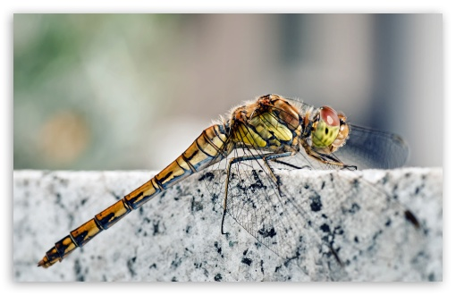 Dragonfly Macro ❤ 4K UHD Wallpaper for Wide 16:10 5:3 Widescreen WHXGA WQXGA WUXGA WXGA WGA ; 4K UHD 16:9 Ultra High Definition 2160p 1440p 1080p 900p 720p ; UHD 16:9 2160p 1440p 1080p 900p 720p ; Standard 3:2 Fullscreen DVGA HVGA HQVGA ( Apple PowerBook G4 iPhone 4 3G 3GS iPod Touch ) ; Mobile 5:3 3:2 16:9 - WGA DVGA HVGA HQVGA ( Apple PowerBook G4 iPhone 4 3G 3GS iPod Touch ) 2160p 1440p 1080p 900p 720p ; Dual 5:4 QSXGA SXGA ;