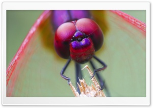 Dragonfly Macro HD Wide Wallpaper for Widescreen