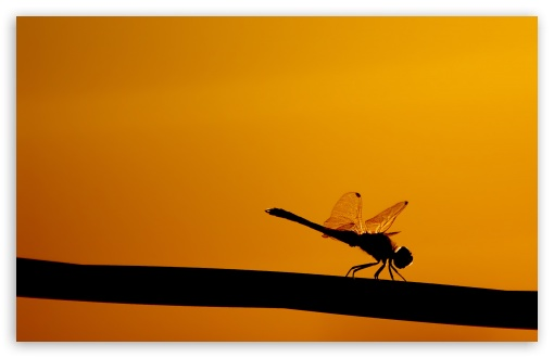 Dragonfly On A Stick HD wallpaper for Wide 16:10 5:3 Widescreen WHXGA WQXGA WUXGA WXGA WGA ; HD 16:9 High Definition WQHD QWXGA 1080p 900p 720p QHD nHD ; Standard 4:3 5:4 3:2 Fullscreen UXGA XGA SVGA QSXGA SXGA DVGA HVGA HQVGA devices ( Apple PowerBook G4 iPhone 4 3G 3GS iPod Touch ) ; Tablet 1:1 ; iPad 1/2/Mini ; Mobile 4:3 5:3 3:2 16:9 5:4 - UXGA XGA SVGA WGA DVGA HVGA HQVGA devices ( Apple PowerBook G4 iPhone 4 3G 3GS iPod Touch ) WQHD QWXGA 1080p 900p 720p QHD nHD QSXGA SXGA ;