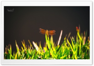 Dragonfly on Grass HD Wide Wallpaper for Widescreen