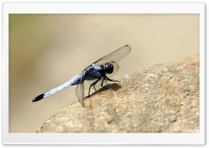 Dragonfly On The Rock HD Wide Wallpaper for 4K UHD Widescreen desktop & smartphone