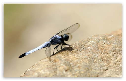 Dragonfly On The Rock ❤ 4K UHD Wallpaper for Wide 16:10 5:3 Widescreen WHXGA WQXGA WUXGA WXGA WGA ; 4K UHD 16:9 Ultra High Definition 2160p 1440p 1080p 900p 720p ; Standard 4:3 5:4 3:2 Fullscreen UXGA XGA SVGA QSXGA SXGA DVGA HVGA HQVGA ( Apple PowerBook G4 iPhone 4 3G 3GS iPod Touch ) ; Tablet 1:1 ; iPad 1/2/Mini ; Mobile 4:3 5:3 3:2 16:9 5:4 - UXGA XGA SVGA WGA DVGA HVGA HQVGA ( Apple PowerBook G4 iPhone 4 3G 3GS iPod Touch ) 2160p 1440p 1080p 900p 720p QSXGA SXGA ;
