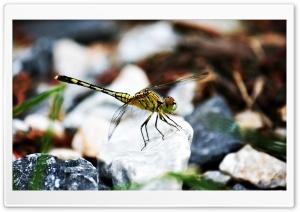 Dragonfly on the rock Ultra HD Wallpaper for 4K UHD Widescreen desktop, tablet & smartphone