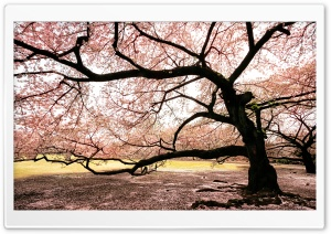 Dreaming of Sakura HD Wide Wallpaper for Widescreen