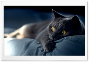 Dreamy Cat HD Wide Wallpaper for Widescreen