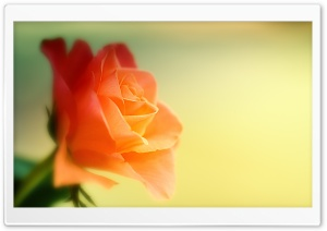 Dreamy Rose HD Wide Wallpaper for Widescreen
