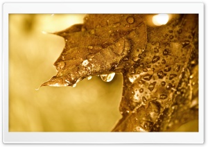 Dripping Golden Leaf HD Wide Wallpaper for 4K UHD Widescreen desktop & smartphone