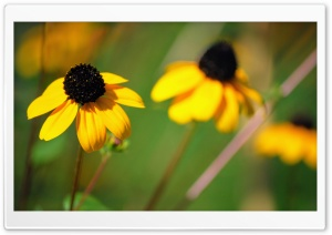 Drooping Yellow Flowers Ultra HD Wallpaper for 4K UHD Widescreen desktop, tablet & smartphone