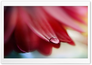 Drop On Flower Petal HD Wide Wallpaper for Widescreen