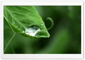 Drop On Pea HD Wide Wallpaper for Widescreen