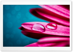 Drops on a Pink Flower HD Wide Wallpaper for Widescreen