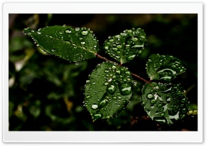 Drops on Leaves HD Wide Wallpaper for Widescreen