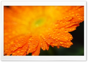 Drops On Orange Petals Macro HD Wide Wallpaper for Widescreen