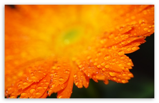 Drops On Orange Petals Macro ❤ 4K UHD Wallpaper for Wide 16:10 5:3 Widescreen WHXGA WQXGA WUXGA WXGA WGA ; 4K UHD 16:9 Ultra High Definition 2160p 1440p 1080p 900p 720p ; Standard 4:3 5:4 3:2 Fullscreen UXGA XGA SVGA QSXGA SXGA DVGA HVGA HQVGA ( Apple PowerBook G4 iPhone 4 3G 3GS iPod Touch ) ; Tablet 1:1 ; iPad 1/2/Mini ; Mobile 4:3 5:3 3:2 16:9 5:4 - UXGA XGA SVGA WGA DVGA HVGA HQVGA ( Apple PowerBook G4 iPhone 4 3G 3GS iPod Touch ) 2160p 1440p 1080p 900p 720p QSXGA SXGA ;