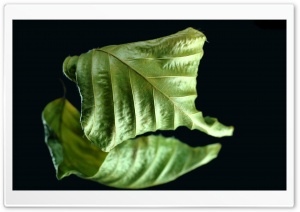 Dry Green Leaf HD Wide Wallpaper for Widescreen
