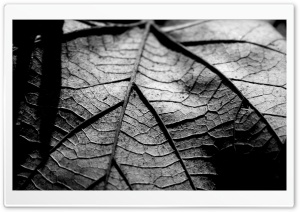 Dry Leaf, Black And White HD Wide Wallpaper for 4K UHD Widescreen desktop & smartphone