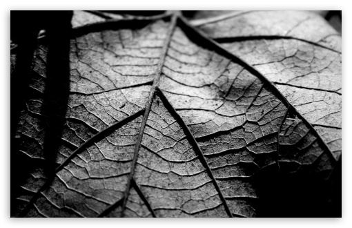 Dry Leaf, Black And White HD wallpaper for Wide 16:10 5:3 Widescreen WHXGA WQXGA WUXGA WXGA WGA ; HD 16:9 High Definition WQHD QWXGA 1080p 900p 720p QHD nHD ; UHD 16:9 WQHD QWXGA 1080p 900p 720p QHD nHD ; Standard 4:3 5:4 3:2 Fullscreen UXGA XGA SVGA QSXGA SXGA DVGA HVGA HQVGA devices ( Apple PowerBook G4 iPhone 4 3G 3GS iPod Touch ) ; Tablet 1:1 ; iPad 1/2/Mini ; Mobile 4:3 5:3 3:2 16:9 5:4 - UXGA XGA SVGA WGA DVGA HVGA HQVGA devices ( Apple PowerBook G4 iPhone 4 3G 3GS iPod Touch ) WQHD QWXGA 1080p 900p 720p QHD nHD QSXGA SXGA ;