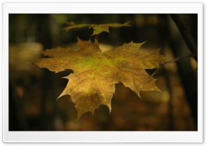 Dry Maple Leaf HD Wide Wallpaper for Widescreen