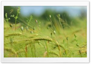 Dry Poppy HD Wide Wallpaper for Widescreen