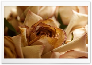 Dry Rose HD Wide Wallpaper for Widescreen