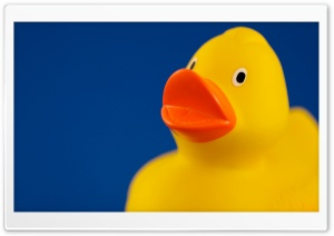 Duck HD Wide Wallpaper for Widescreen