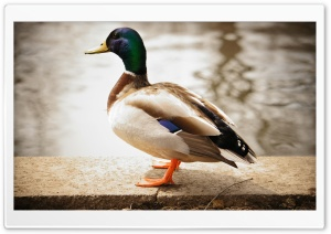 Duck Ultra HD Wallpaper for 4K UHD Widescreen desktop, tablet & smartphone