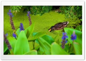 Duck Eating Duckweed HD Wide Wallpaper for Widescreen