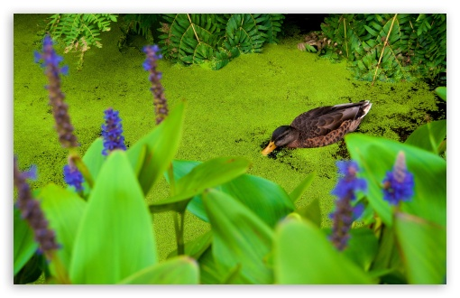 Duck Eating Duckweed ❤ 4K UHD Wallpaper for Wide 16:10 5:3 Widescreen WHXGA WQXGA WUXGA WXGA WGA ; UltraWide 21:9 24:10 ; 4K UHD 16:9 Ultra High Definition 2160p 1440p 1080p 900p 720p ; UHD 16:9 2160p 1440p 1080p 900p 720p ; Standard 4:3 3:2 Fullscreen UXGA XGA SVGA DVGA HVGA HQVGA ( Apple PowerBook G4 iPhone 4 3G 3GS iPod Touch ) ; Tablet 1:1 ; iPad 1/2/Mini ; Mobile 4:3 5:3 3:2 16:9 - UXGA XGA SVGA WGA DVGA HVGA HQVGA ( Apple PowerBook G4 iPhone 4 3G 3GS iPod Touch ) 2160p 1440p 1080p 900p 720p ;